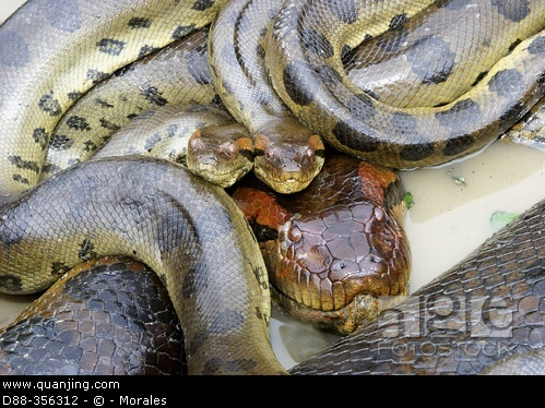 世界上最大的蛇水蚺