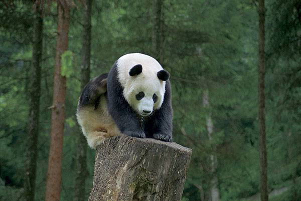 可爱的大熊猫^0