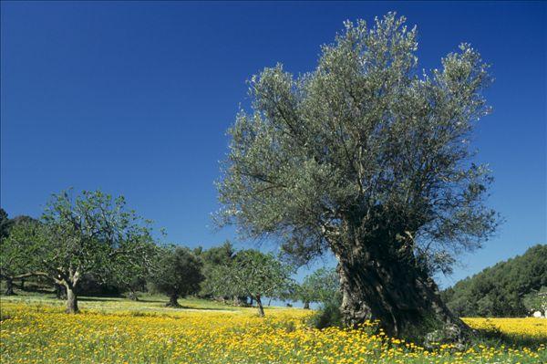 橄榄树,花,草地,马略卡岛