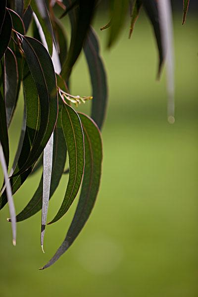 桉树叶_桉树叶图片
