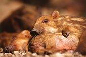 日本 野猪/日本野猪