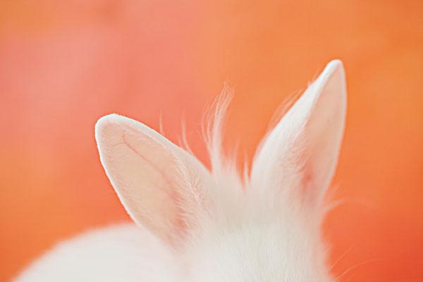 白色兔耳朵
