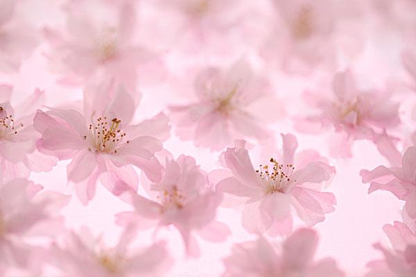 鹤山共和樱花地图
