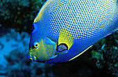 头像,鲜艳,皇后,刺蝶鱼,礁石,科苏梅尔,岛屿,墨西哥