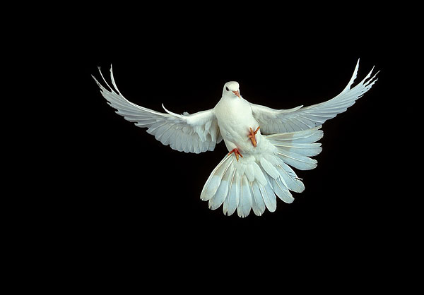 白鸽tupian可爱