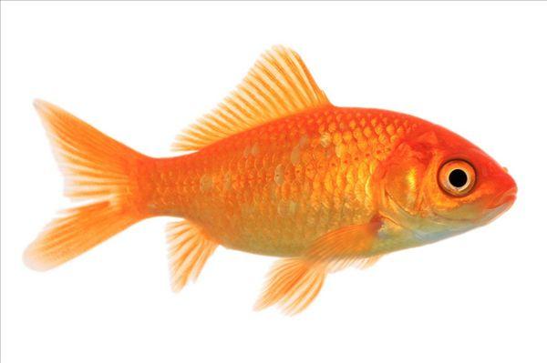 金鱼,普通,鲤鱼