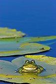 可食,青蛙,虎皮蛙,多瑙河三角洲,荷花,欧洲,东欧,罗马尼亚,八月,2006年