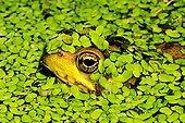 池蛙,隐藏,浮萍