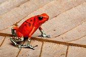 毒物,青蛙,厄瓜多尔