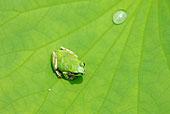 全画幅,特写,树蛙,莲叶