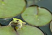 微距,特写,树蛙,莲叶,水中
