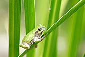 微距,特写,树蛙,叶子