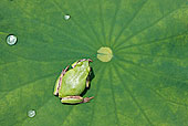 微距,特写,树蛙,莲叶