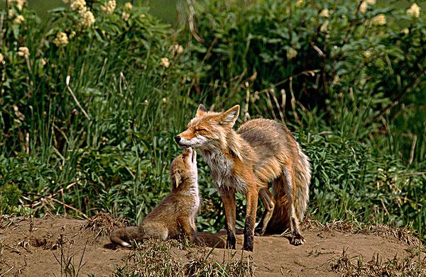 狐狸,小动物