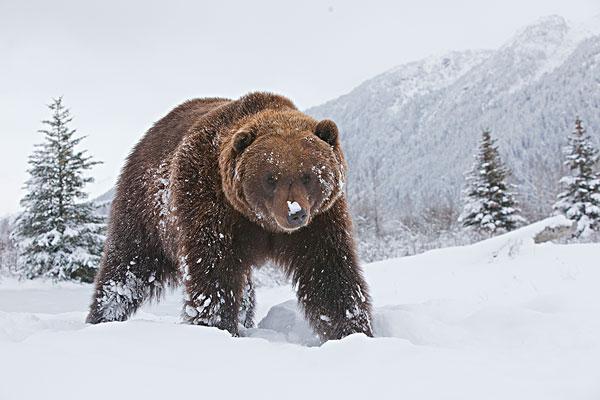 初雪,阿拉斯加野生动物保护中心
