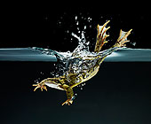 青蛙游泳水下