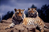 中国野生动物东北虎