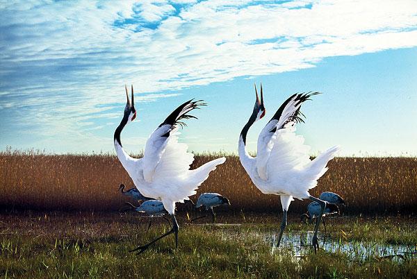 丹顶鹤-丹顶鹤图片下载-丹顶鹤图片大全-全景图片网