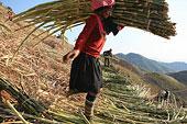 云南思茅地区孟连县芒信乡海东村芒旧新寨的哈尼族人们在收获甘蔗