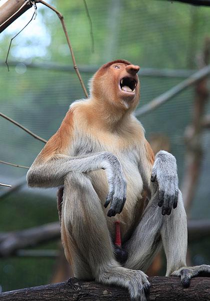 新加坡动物园猴子长鼻猴