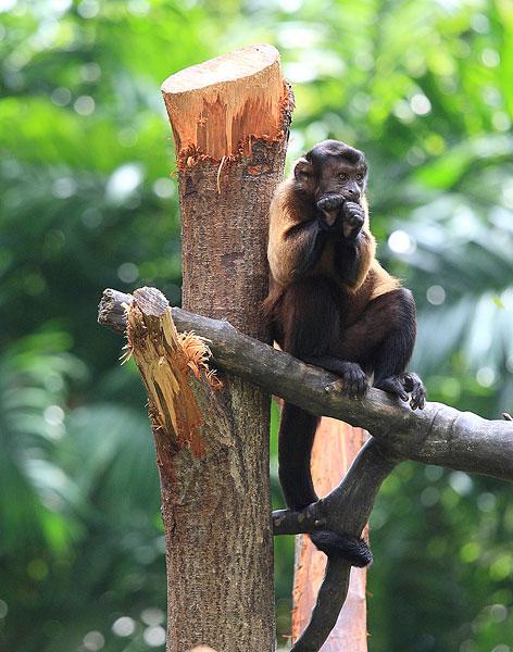 新加坡动物园猴子