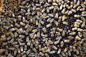 蜜蜂是社會性昆蟲、釀造著生活的蜜。