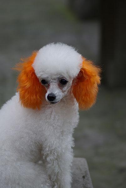 两只耳朵染色的小狗
