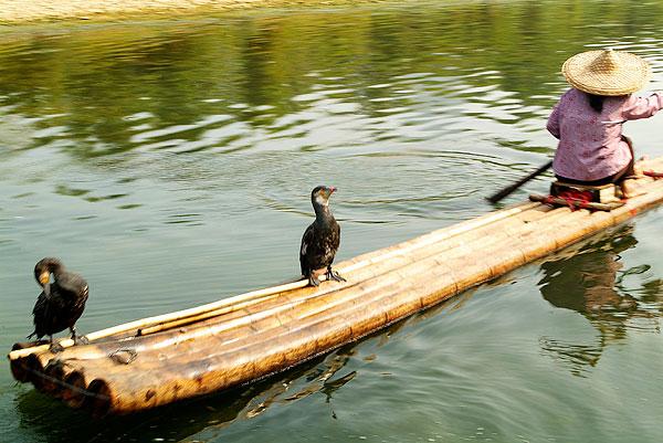 站在木筏上的鸬鹚