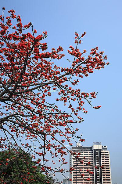 广州美丽的红木棉花