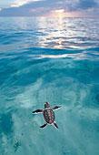 印度尼西亚海洋里的海龟
