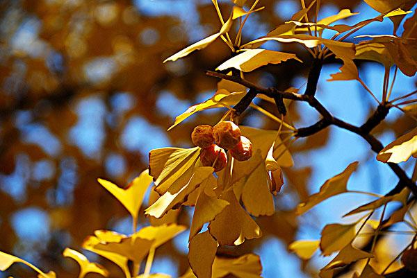 公园里秋天金黄色的银杏树