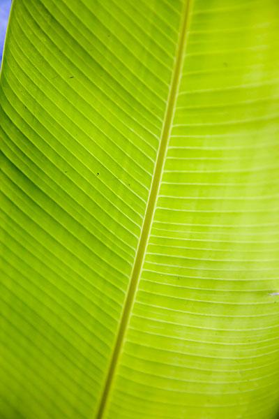 扇形树叶_扇形树叶图片