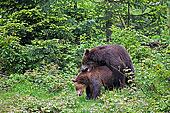 棕熊,俘獲,國家公園,巴伐利亞森林,德國
