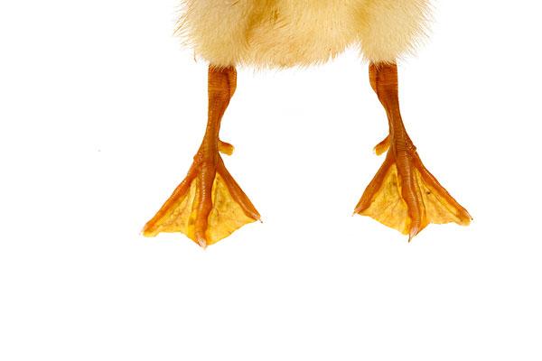 一只小鸭子的脚