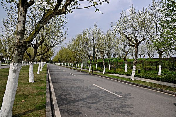 重庆上邦国际樱花大道法国梧桐树林