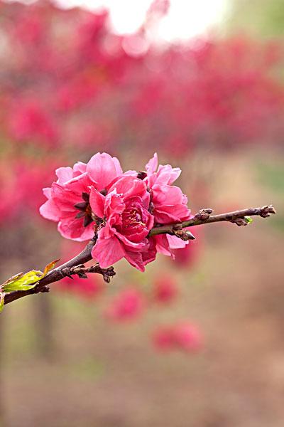 春天迎风盛开的粉红色梅花