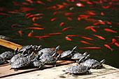水塘,海龟
