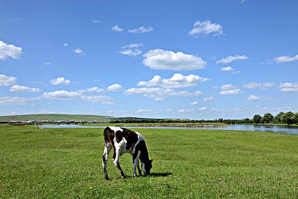 内蒙古呼伦贝尔鄂温克族旗伊敏河畔牛奶群