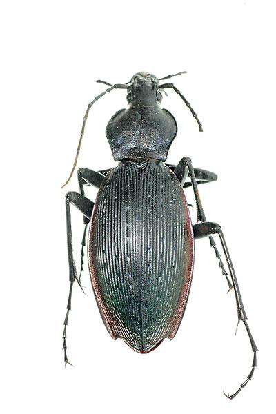 昆虫,甲壳虫汽车,甲虫