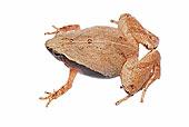 青蛙,特写,棚拍