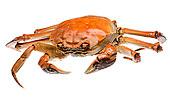 蟹肉,螃蟹