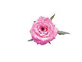 漂亮,红玫瑰