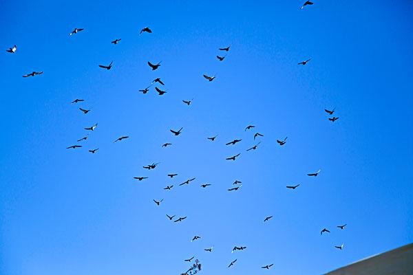 蓝天下飞翔的鸽子群