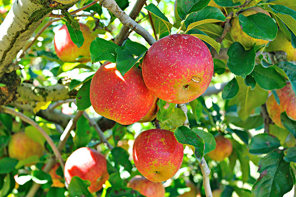 台中市-苹果,苹果树,果园