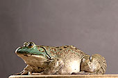 蛙,两栖动物