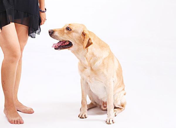 狗,拉布拉多,导盲犬,动物,表演,温顺,忠诚,游戏,7