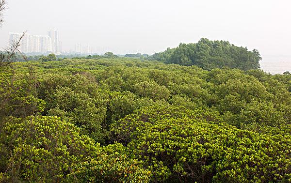 深圳红树林_深圳红树林图片