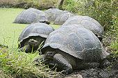 野生,加拉帕戈斯,龟,休息,水中
