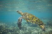 绿海龟,游泳,浅水