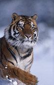 孟加拉虎,雪中
